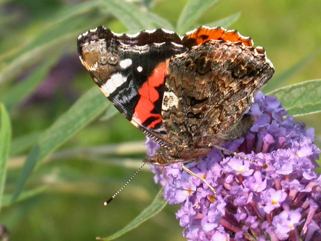Red Admiral butterfly on Buddleia davidii 'Nanho Blue'