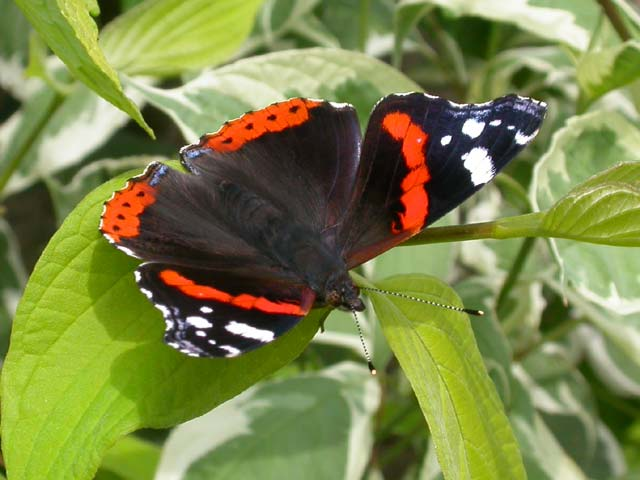 Red Admiral butterfly on Dogwood