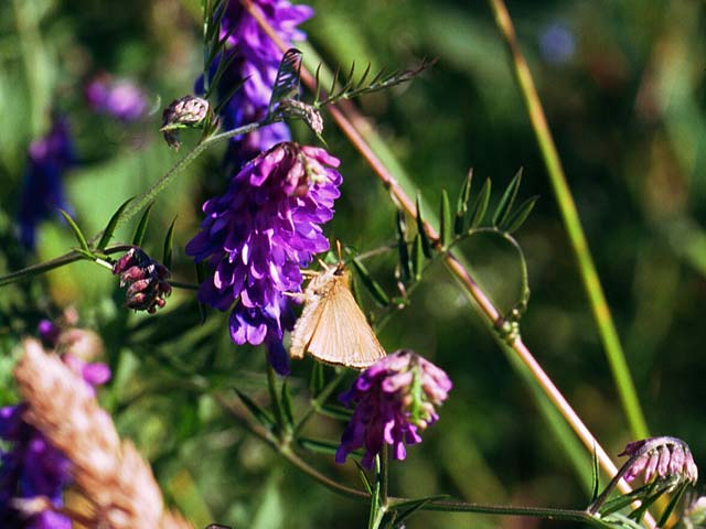 Small Skipper butterfly on Tufted Vetch
