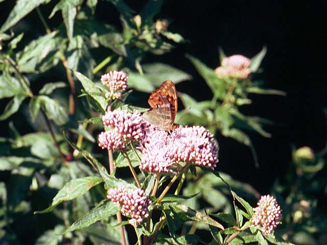 Silver-washed Fritillary on Hemp Agrimony