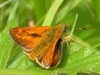 thumbnail link to image of Large Skipper butterfly