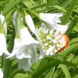 Image of Orange Tip butterfly