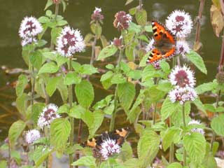 Image of Small Tortoiseshell on Water Mint