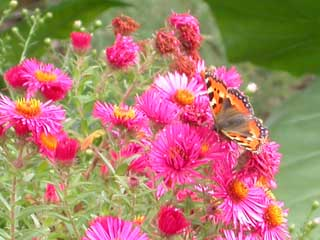 Image of Small Tortoiseshell butterfly on Aster