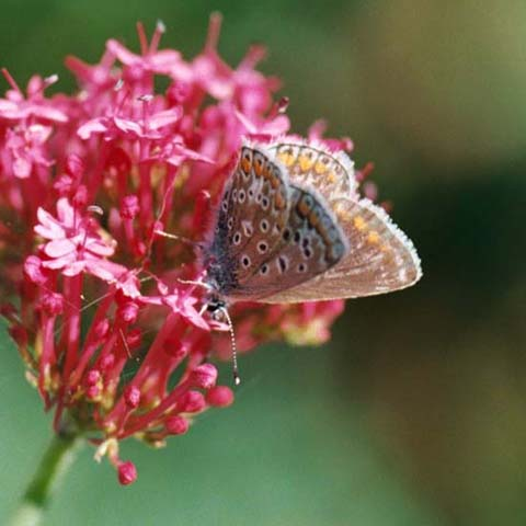 Common Blue butterfly on Red Valerian