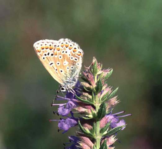 Common Blue butterfly on Hyssop