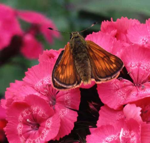 Large Skipper butterfly  on Sweet William