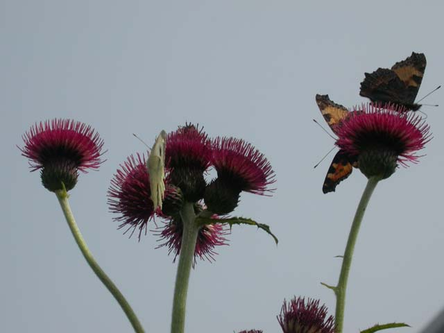 Large White and Small Tortoiseshell butterflies on Cirsium