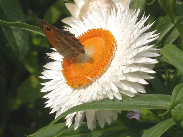 Gatekeeper butterfly on Helichrysum (Strawflower)