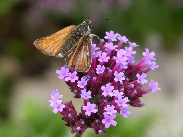 Essex Skipper butterfly on Verbena bonariensis