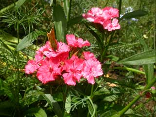 Image of Sweet William flower with Large Skipper butterfly