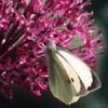 Large White on allium
