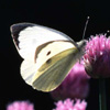 Large White on  chives