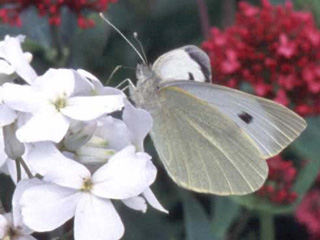 Large White butterfly on Hesperis matronalis