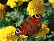 Peacock on double-flowered French Marigolds